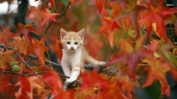 Fall Cat Desktop Wallpaper