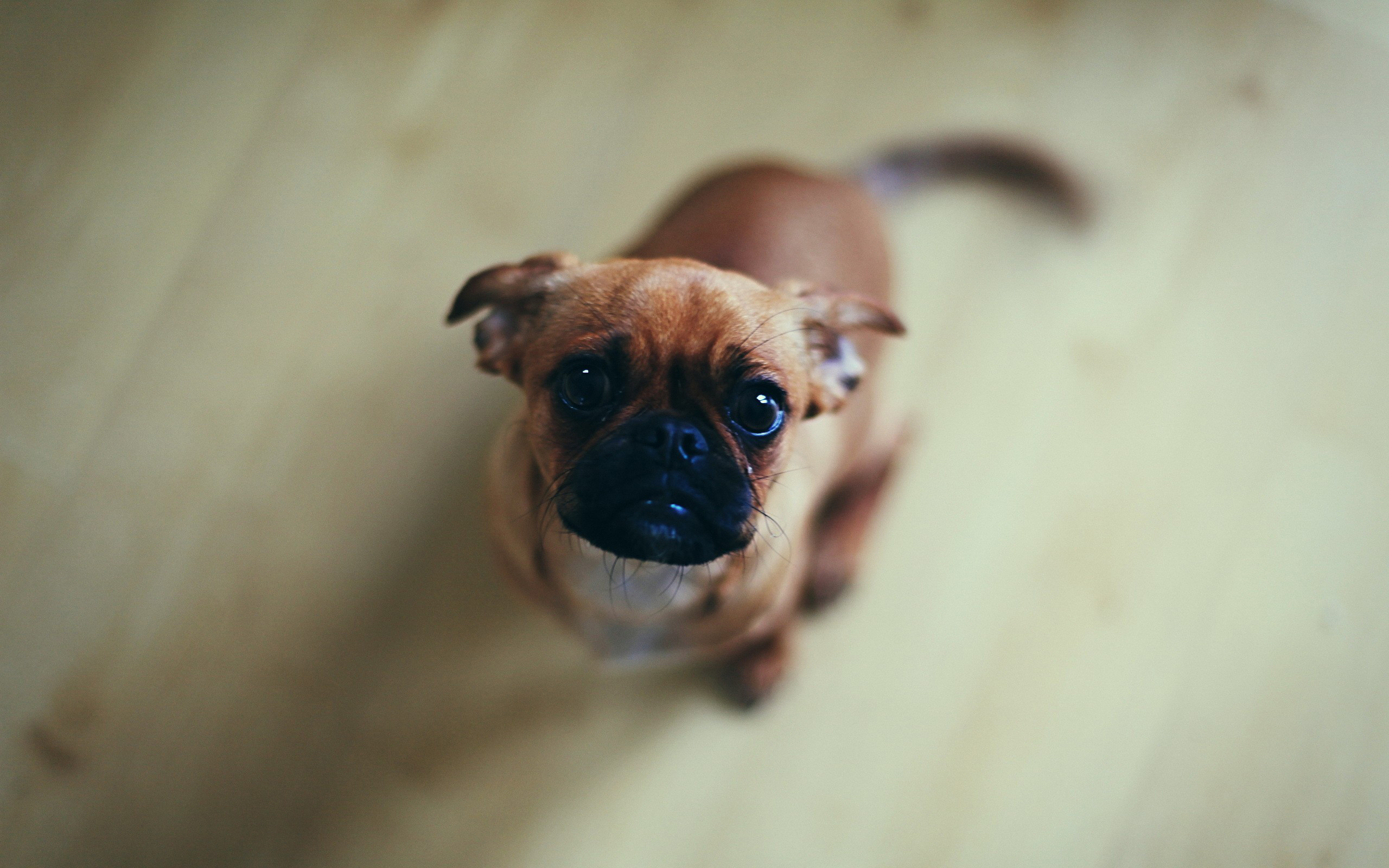 Cute Pug Wallpapers For Iphone Funny Pug Pictures Wallpaper 75 Images