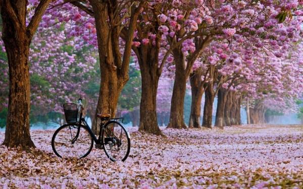 Cherry Blossom Hd Wallpaper 71