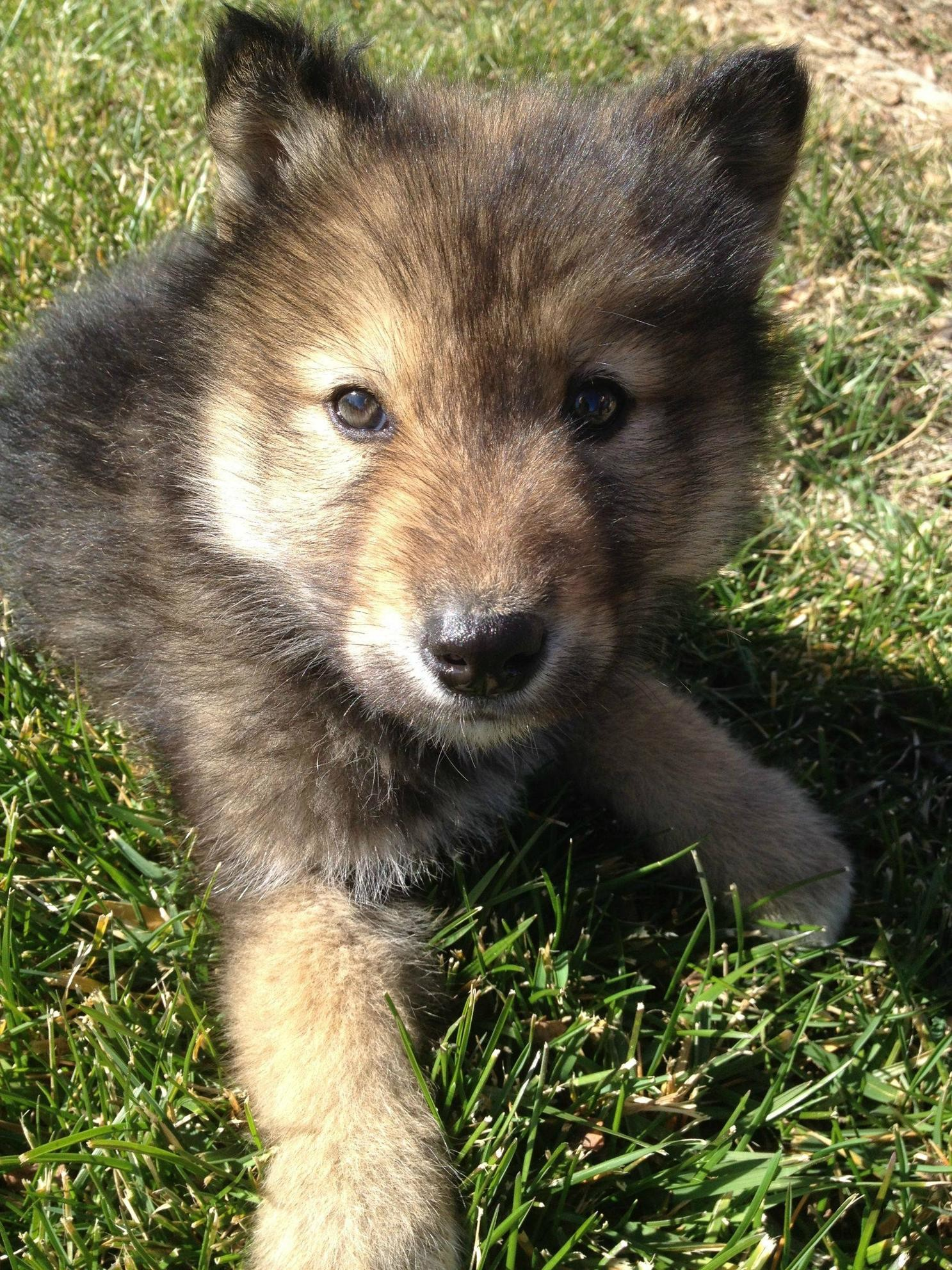 Desktop Wallpaper Of Cute Puppies Cute Baby Wolf Wallpaper 58 Images