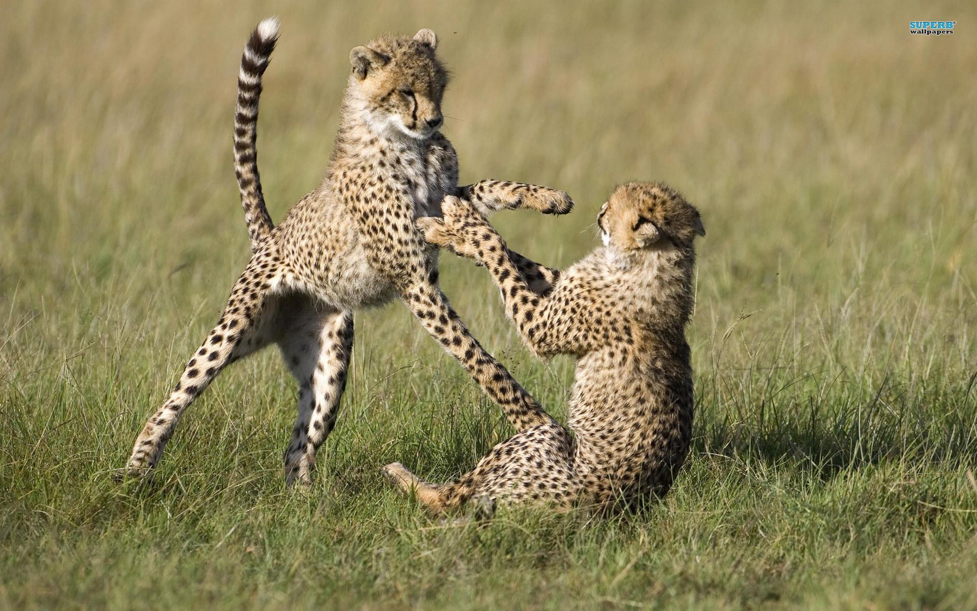 Cheetah Print Iphone Wallpaper Baby Cheetah Wallpaper 66 Images
