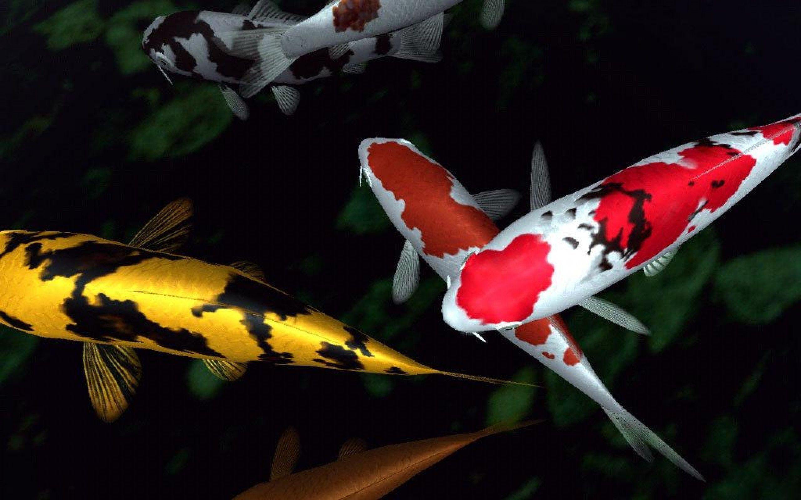 hd koi fish wallpaper