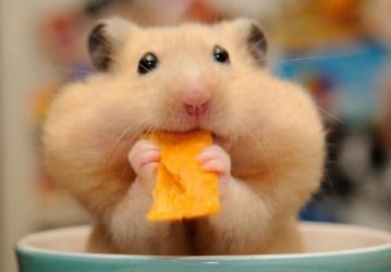 hamster cute hd background