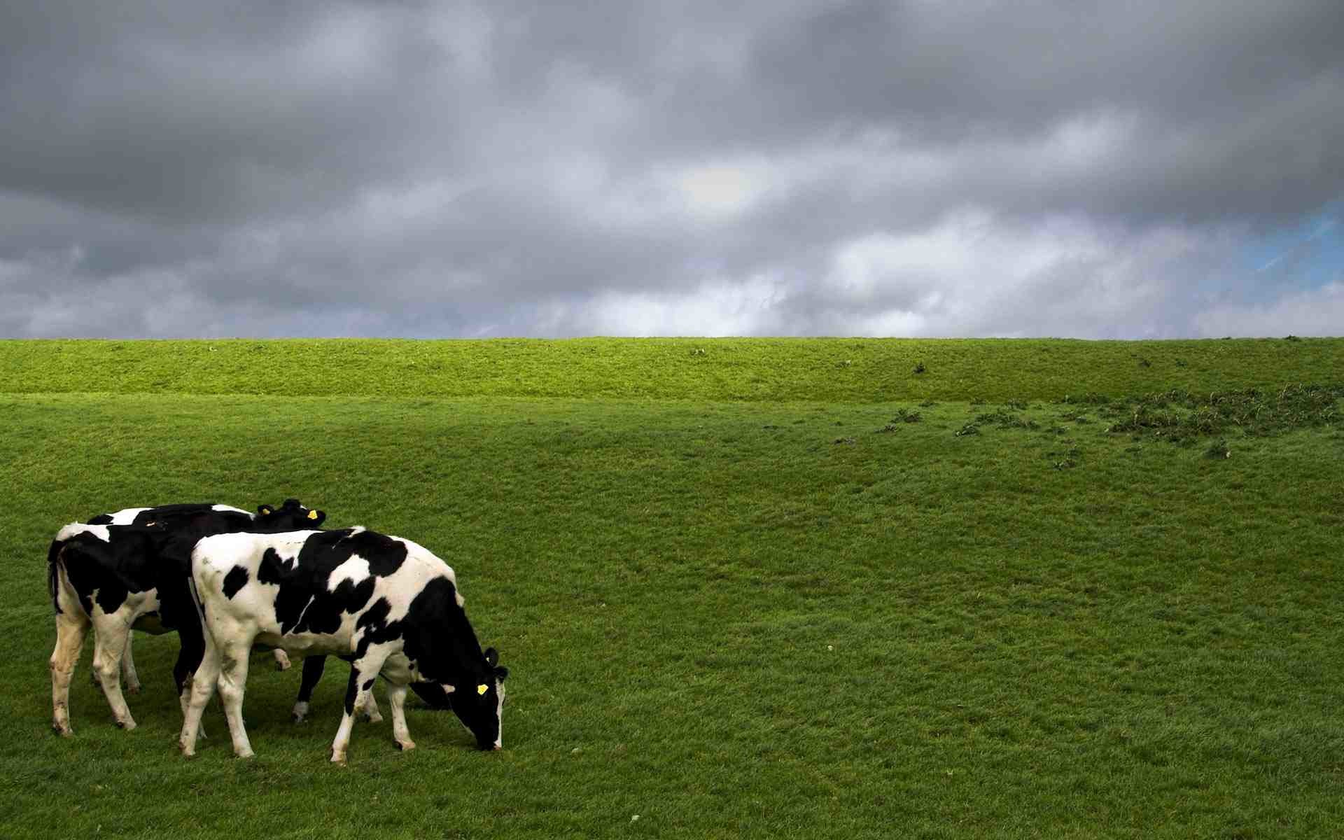 cow backgrounds 56 images