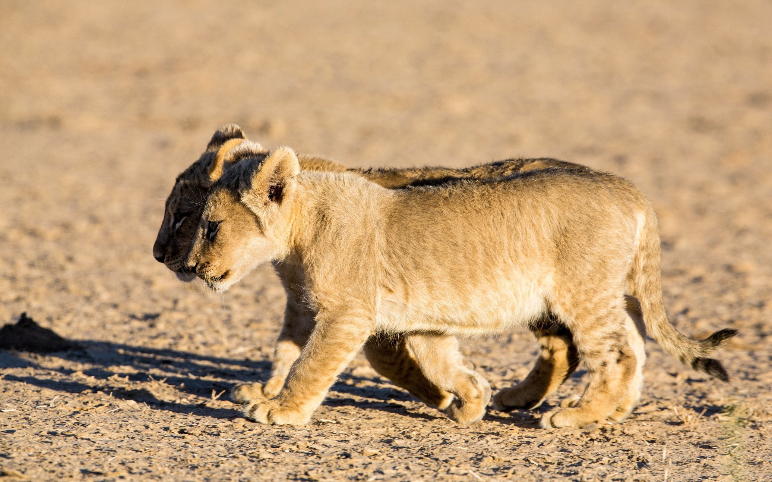 Cute Fat Baby Wallpapers Lion Cub Wallpaper 74 Images