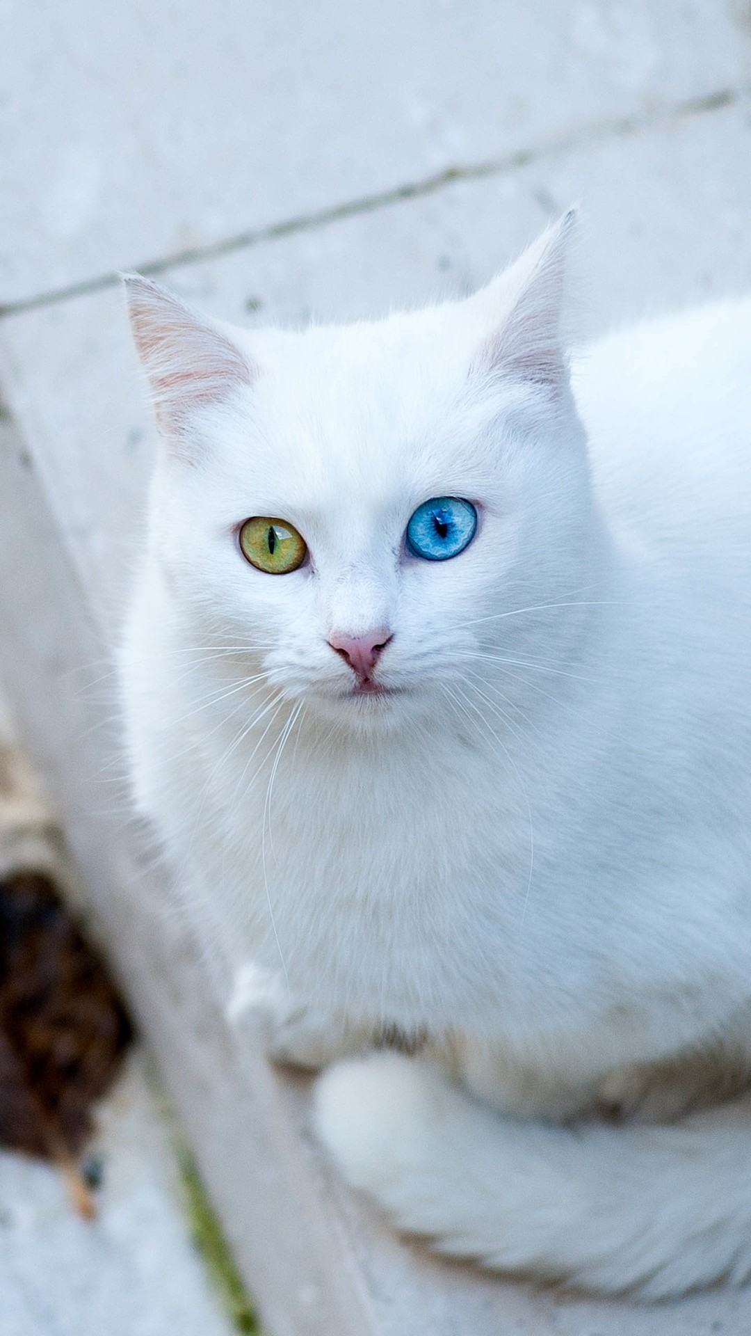 Cute Kittens Wallpaper For Iphone White Cat Wallpaper 76 Images
