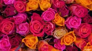 desktop roses rose wallpapers widescreen backgrounds 1080 1920 galaxy samsung wallpaper6 link wallpaperaccess wallpapertag