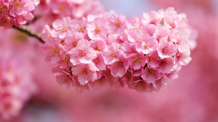 desktop flower background pink flowers hd wallpapers blossoms cherry nature 1080p screen summer pretty spring blossom season definition colorful resolution