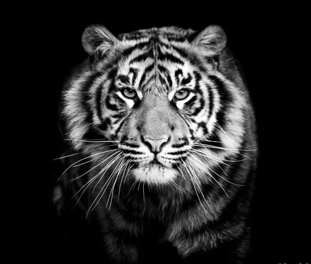 1920x1200 Samsung Galaxy S Wallpapers Hd Beautiful Black And White Tiger 1920a 1200