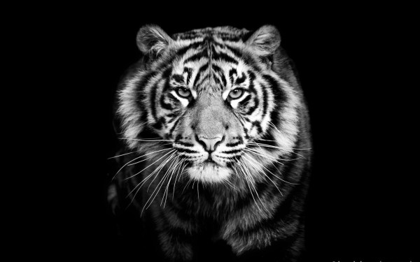 Black and White Tiger Desktop Wallpaper