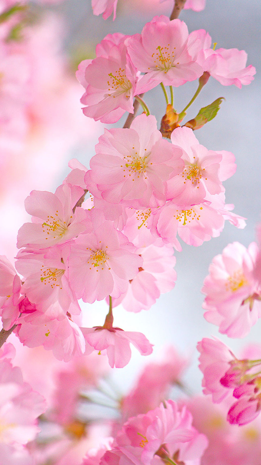 Quote Wallpapers For Iphone 6 Plus Cherry Blossoms Iphone Wallpaper 75 Images