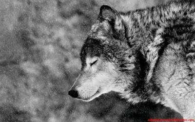 wolf alpha hd