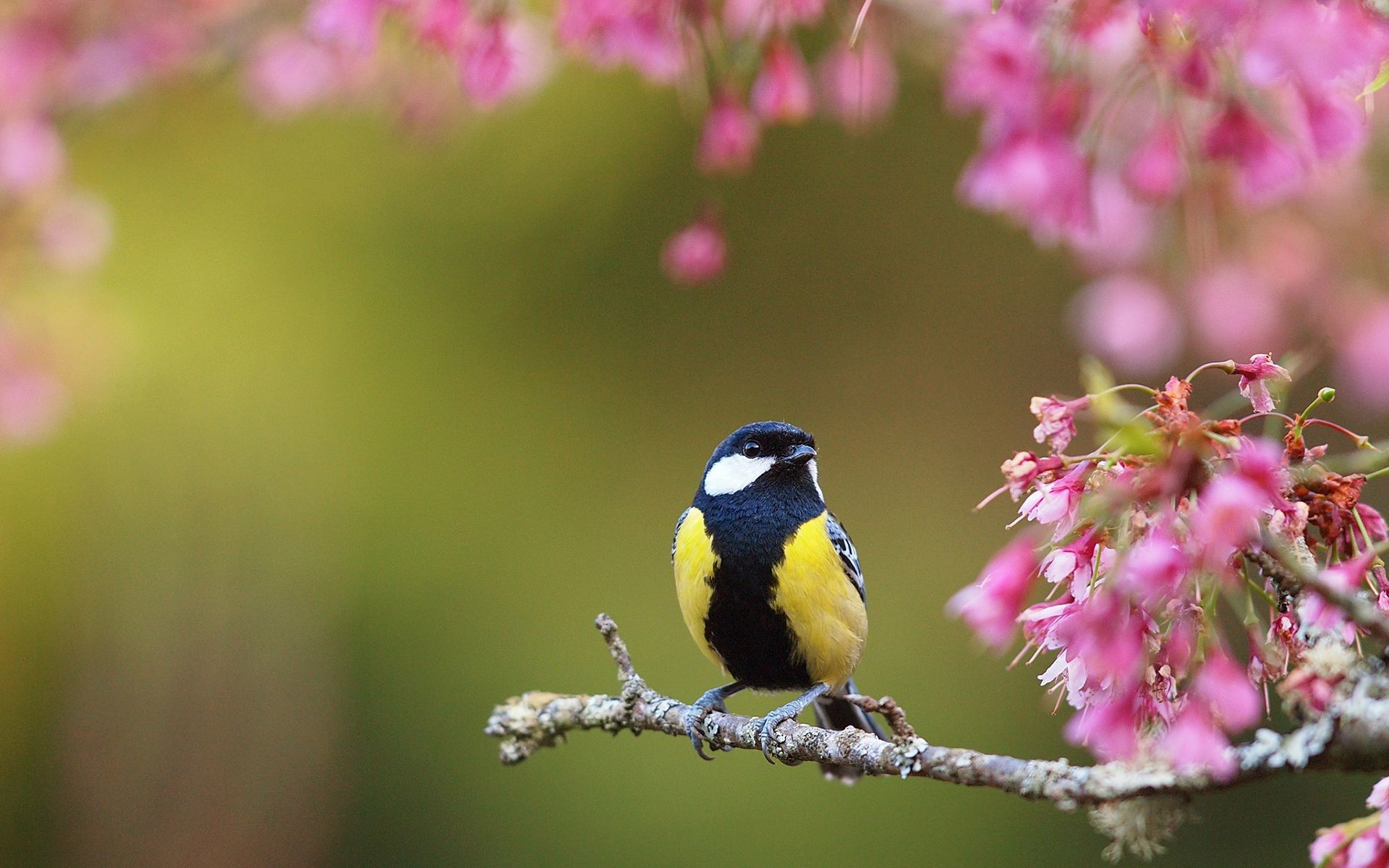 spring bird desktop wallpaper