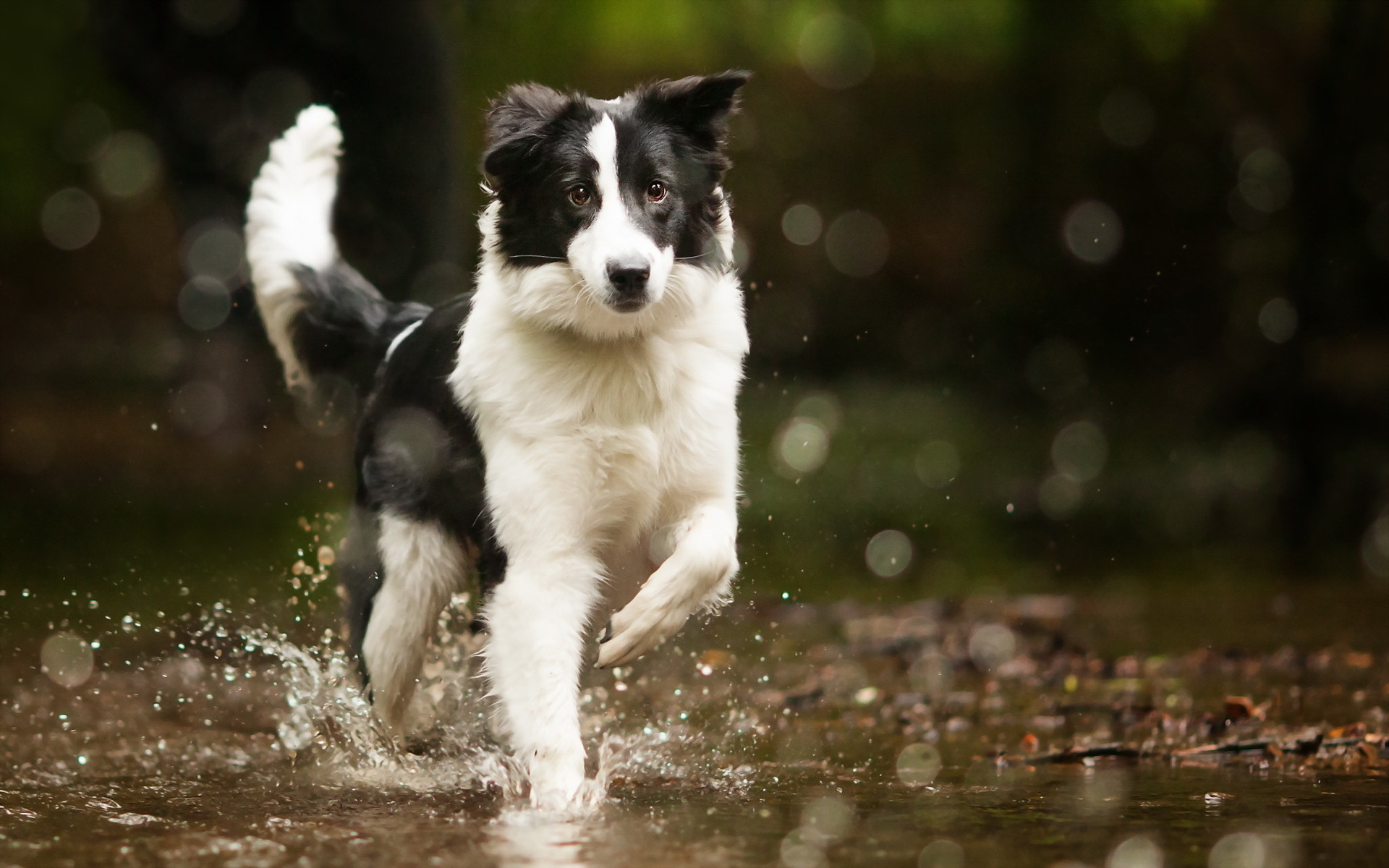 Cute Dog Puppy Wallpapers Border Collie Wallpaper 72 Images