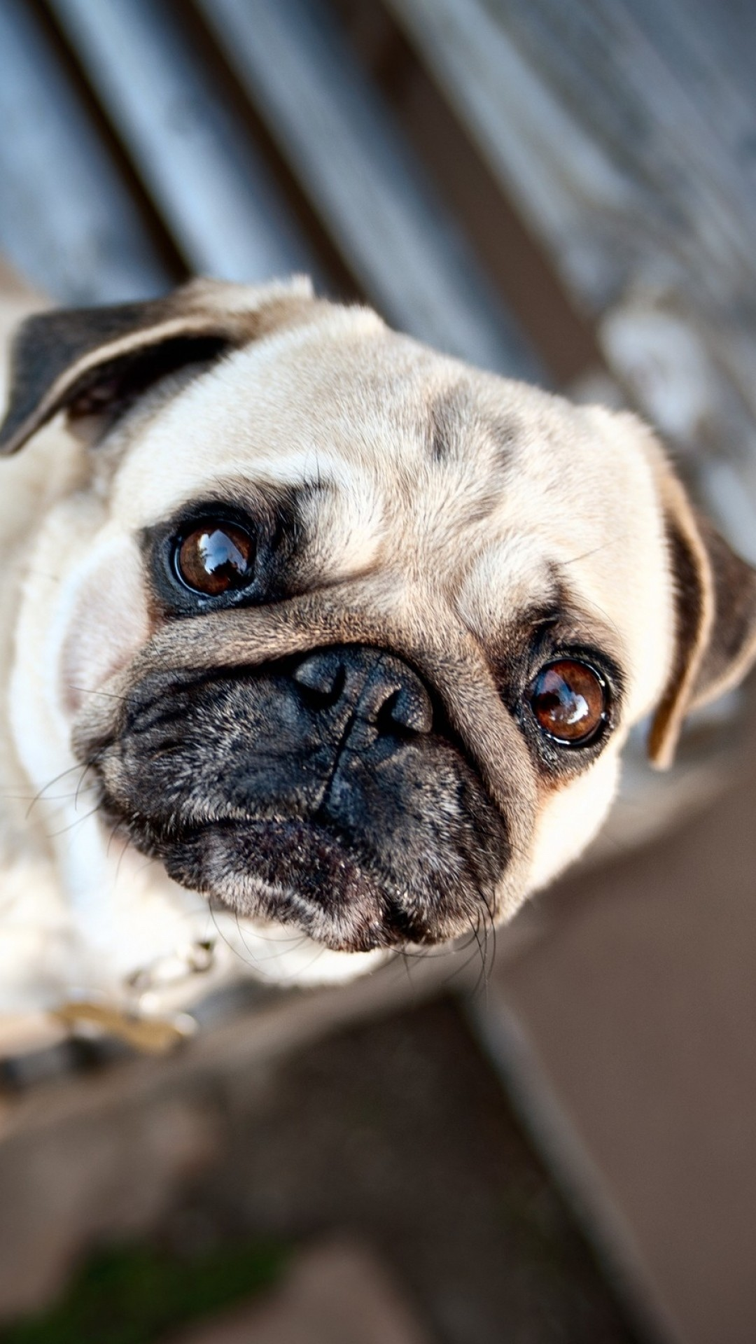 Cute Dogs Full Hd Wallpapers Pug Puppy Wallpaper 66 Images