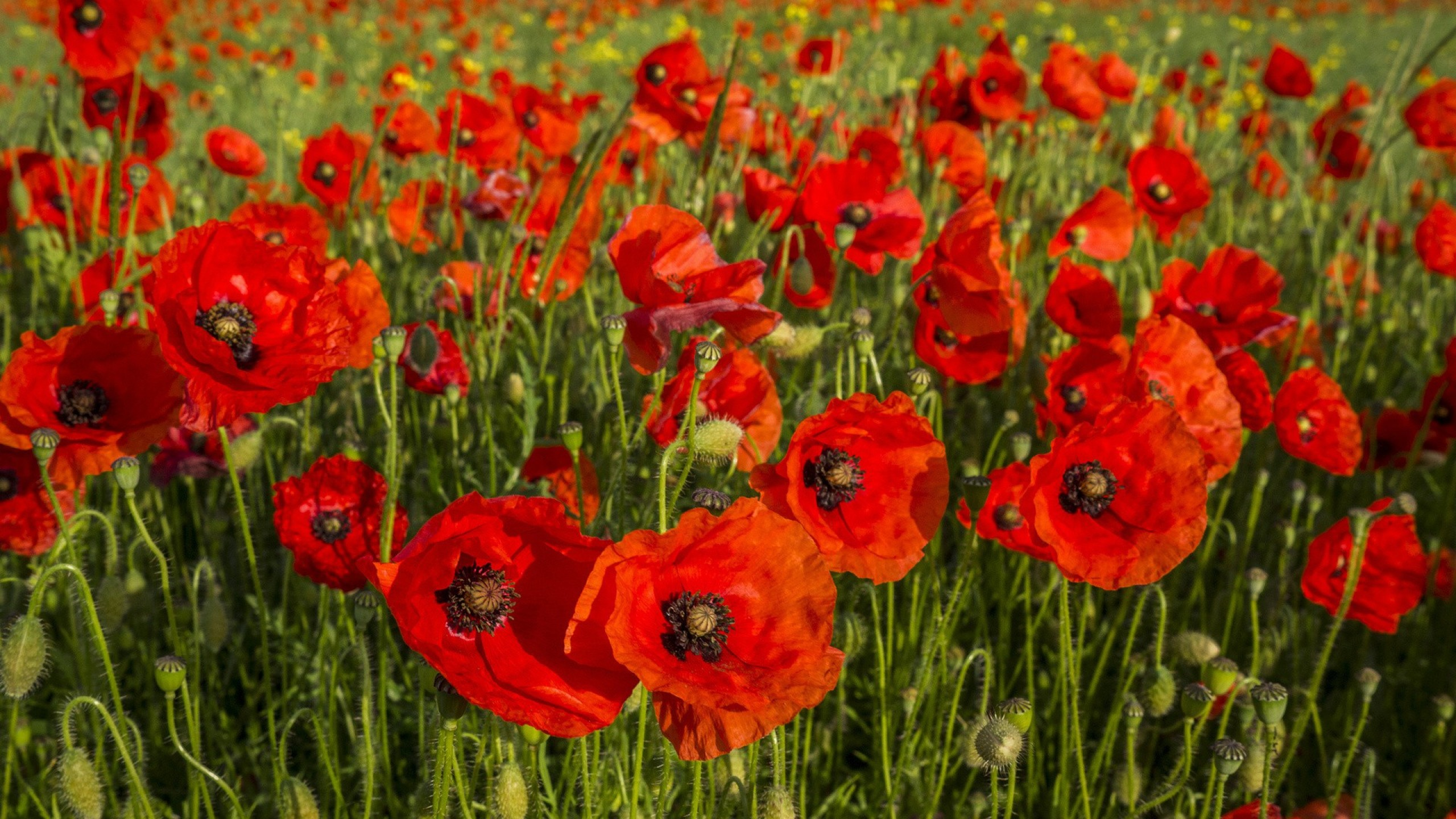 Cute Poppy 1080p Wallpaper Field Of Poppies Wallpaper 50 Images