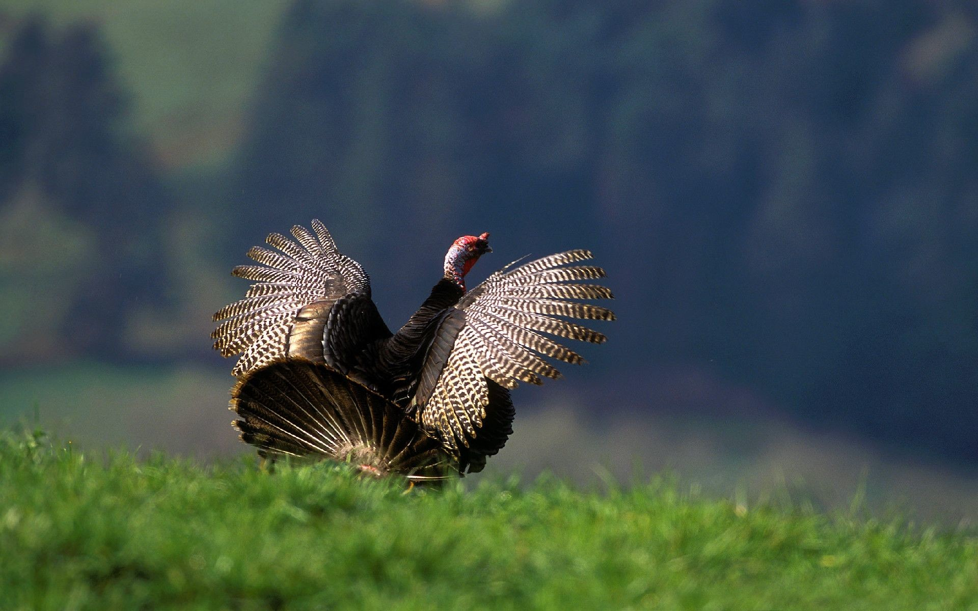 wild turkey wallpapers and