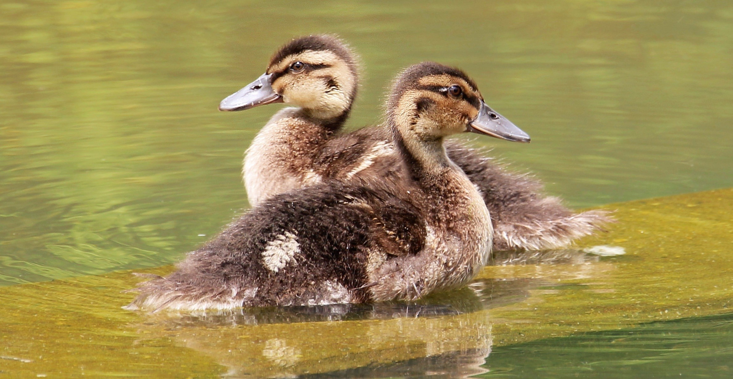 Cute Baby Duck Wallpaper Hd Duckling Wallpaper 68 Images