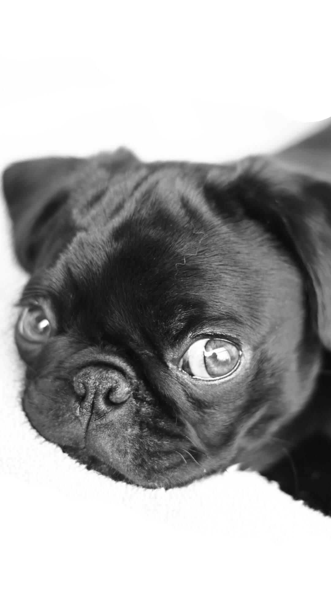 Fall Pug Wallpaper Puppy Wallpaper And Screensavers 53 Images