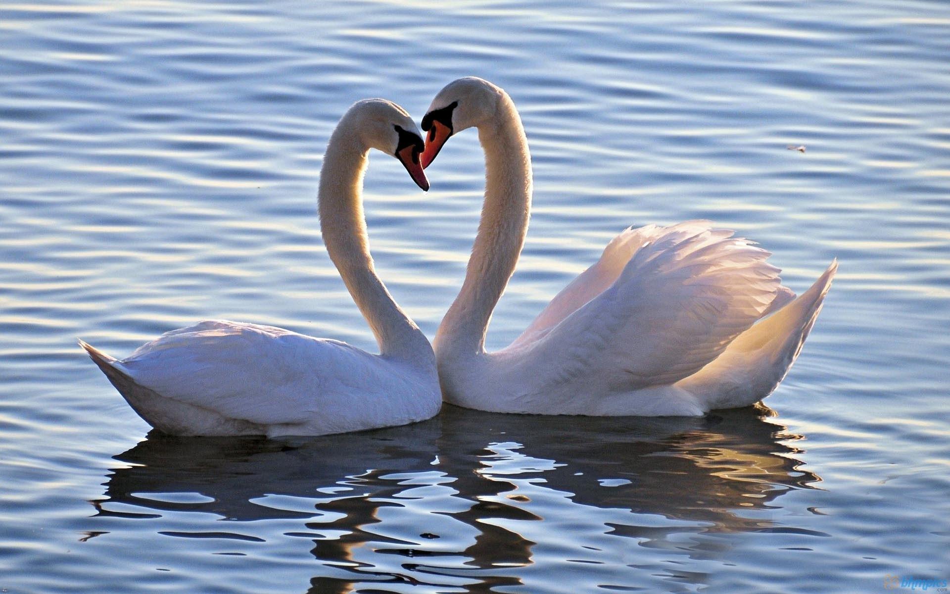 lovebirds wallpaper 56 images
