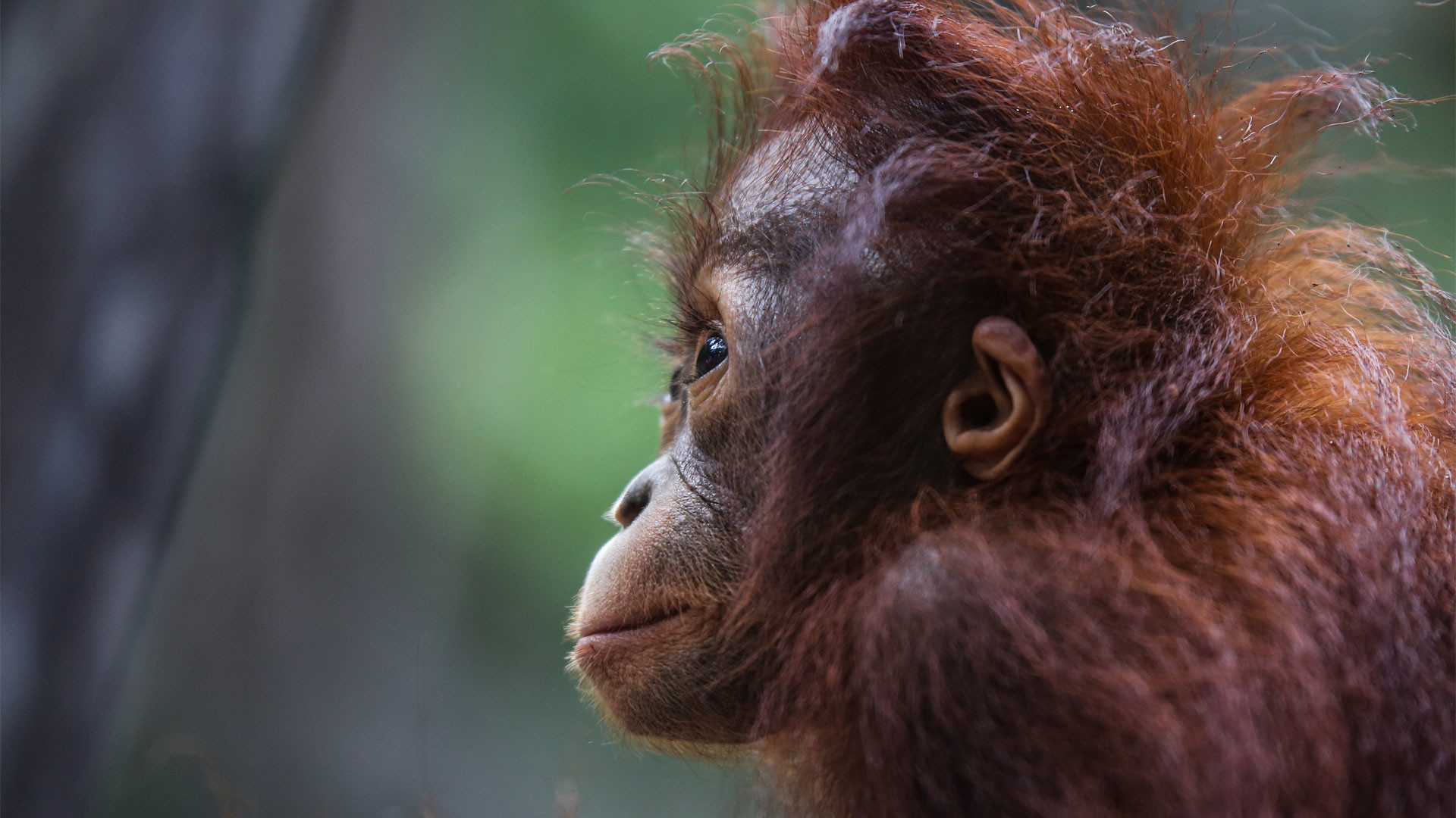 Cute Girl Pic Full Hd Wallpaper Baby Orangutan Wallpaper 64 Images