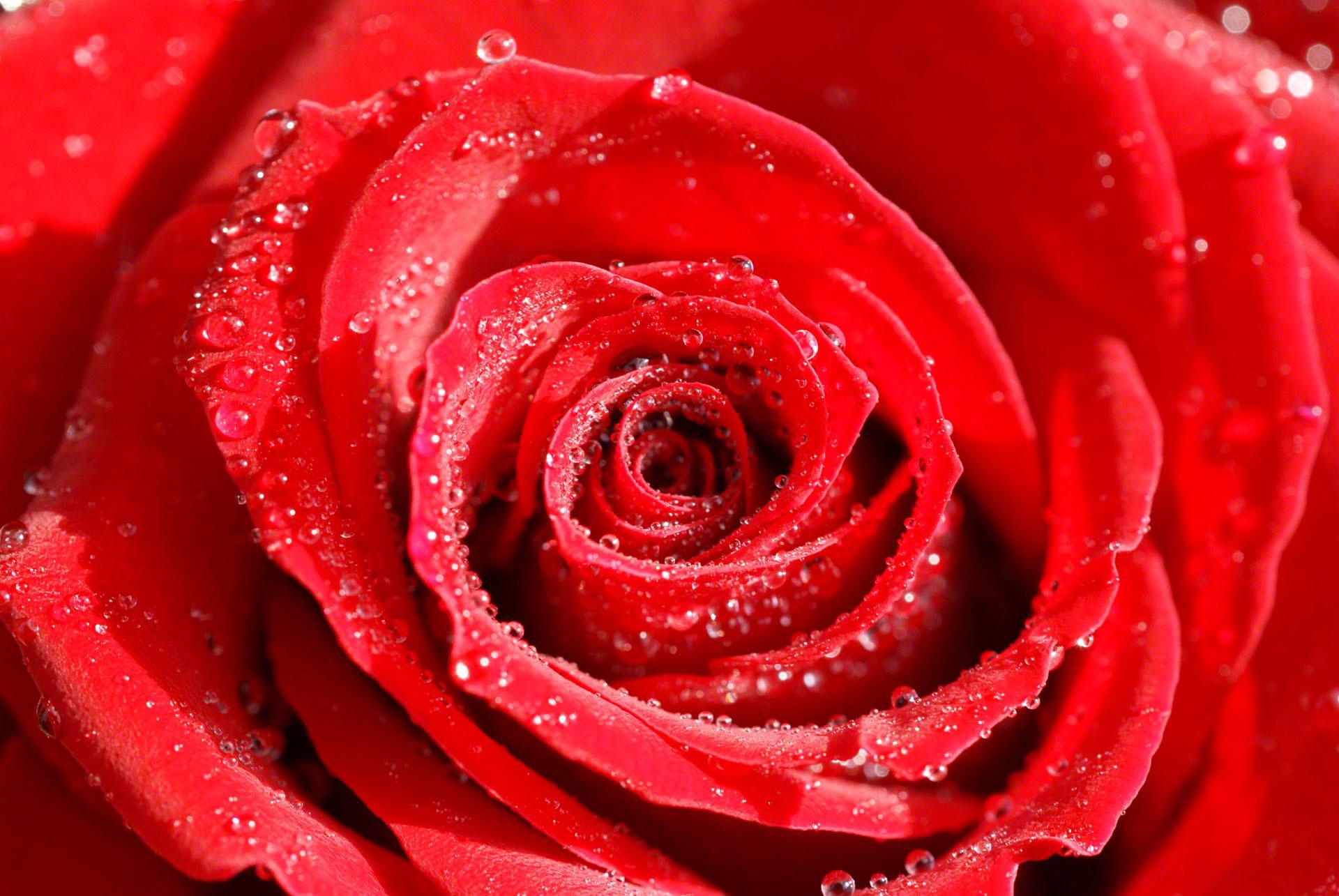 rose flowers wallpaper 57