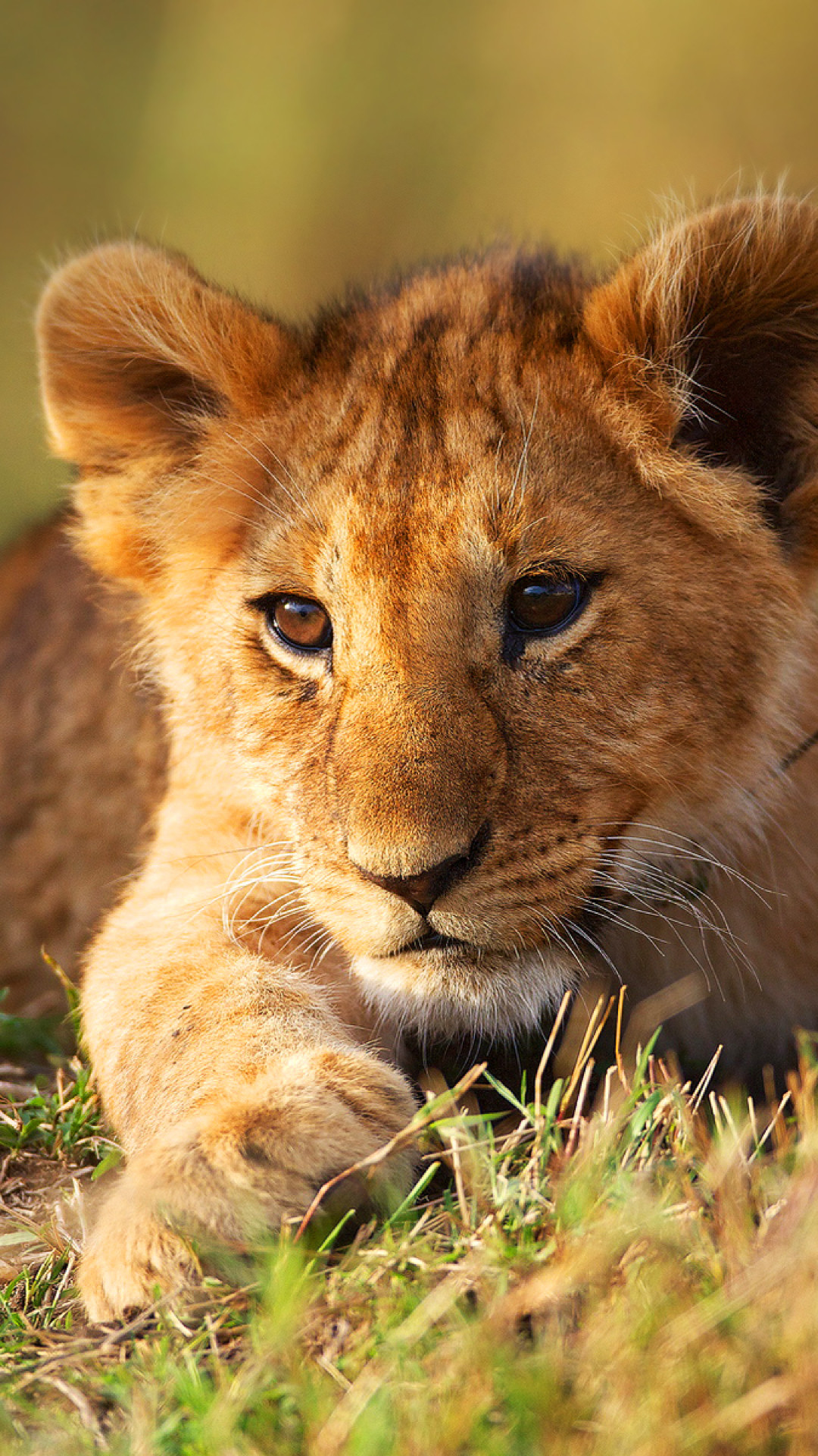 Cute Animal Wallpapers Free Download Lion Cub Wallpaper 74 Images