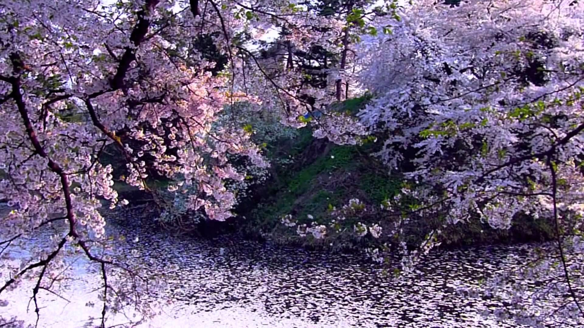 Falling Cherry Blossom Wallpaper Hd Cherry Blossom Hd Wallpaper 71 Images