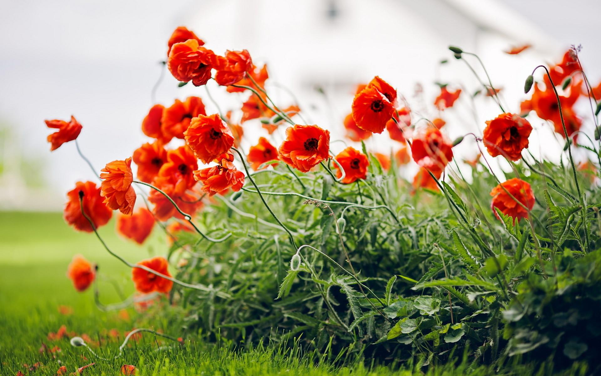Supreme Girl Iphone Wallpaper Poppy Flower Wallpaper 63 Images
