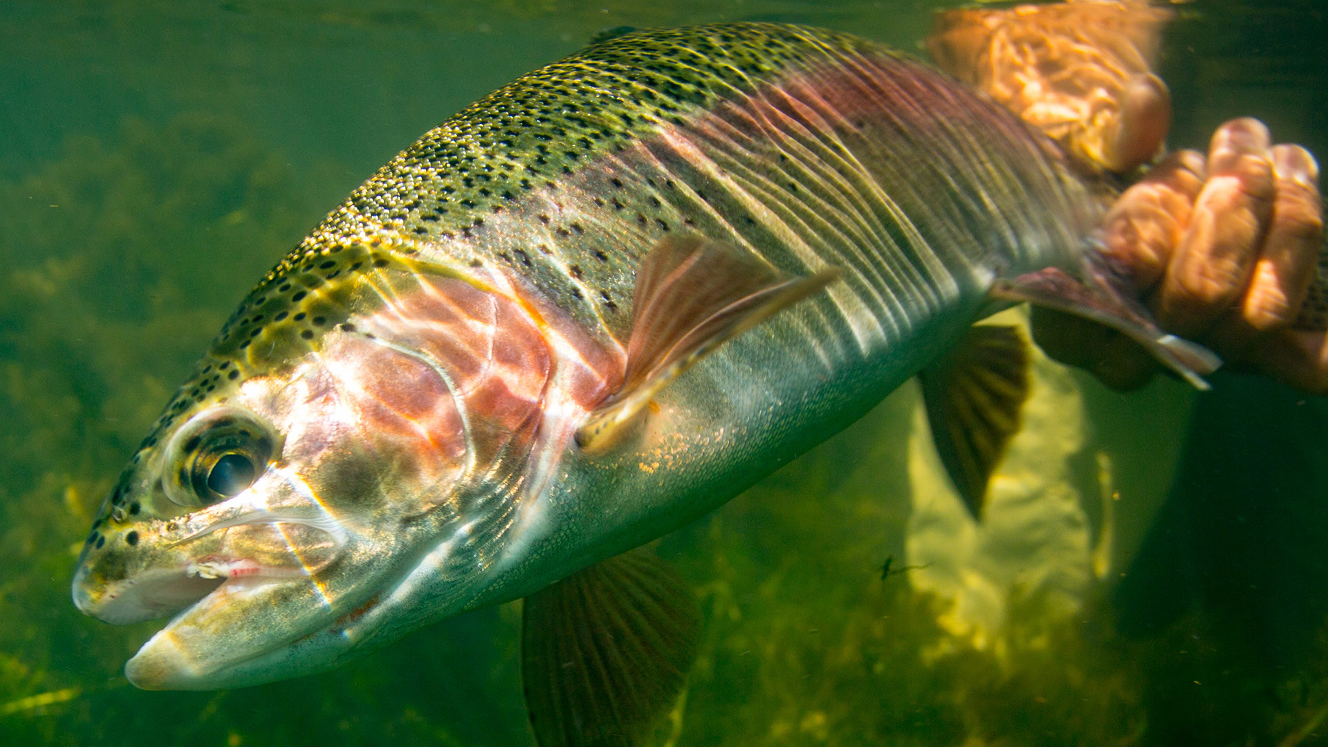Trout Wallpaper Iphone Rainbow Trout Wallpaper 49 Images