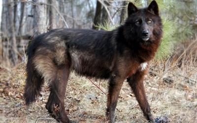 wolf fantastic quality