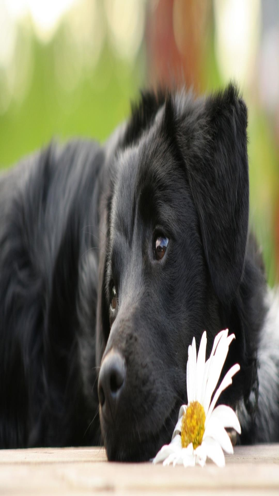 Cute Dog Puppy Wallpapers Black Lab Wallpaper 44 Images