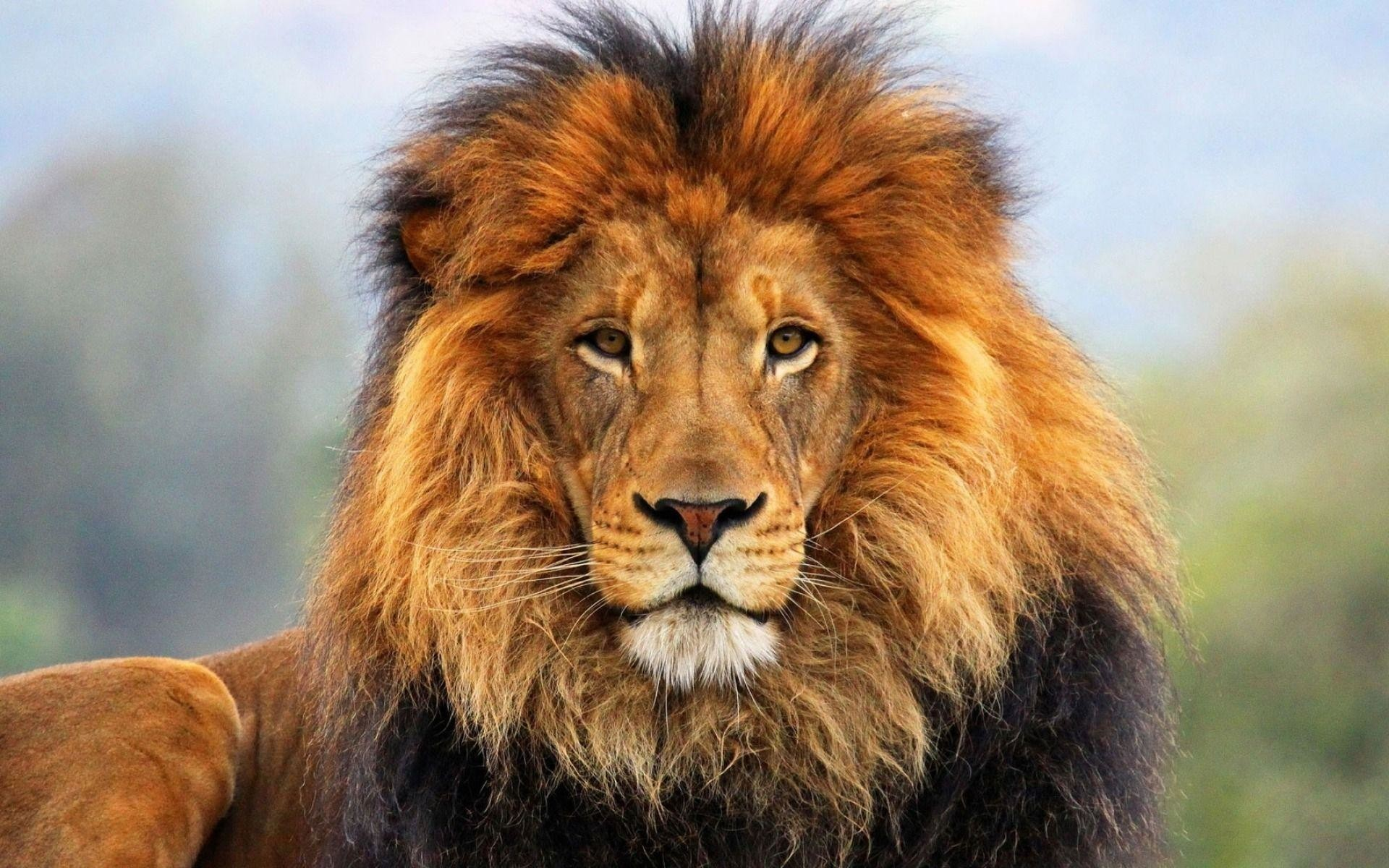 lion face wallpaper 68