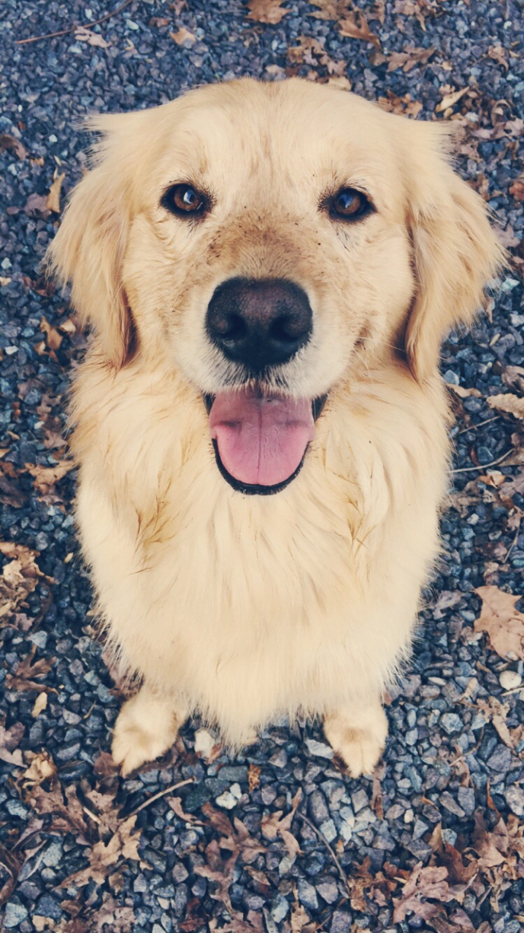 golden retriever wallpaper 77