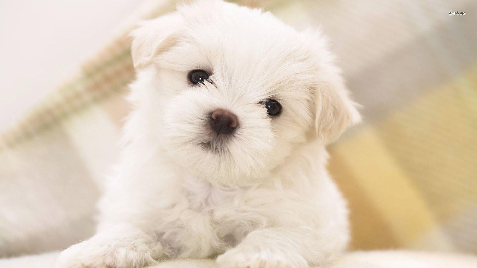 Cute Pug Dog Wallpaper Free Download Pug Puppies Wallpaper