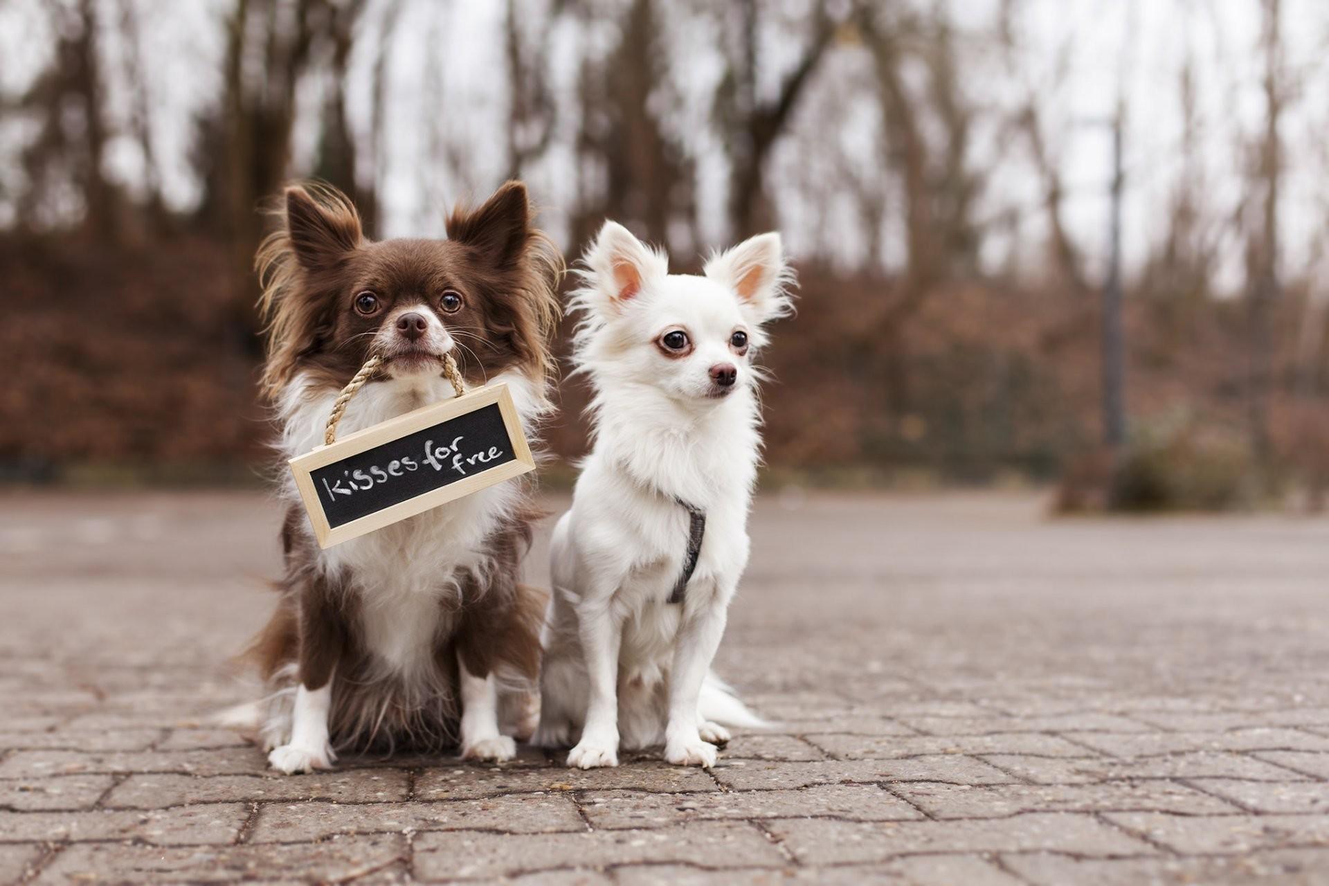 Puppies Pomeranian Chihuahua Mix Cute