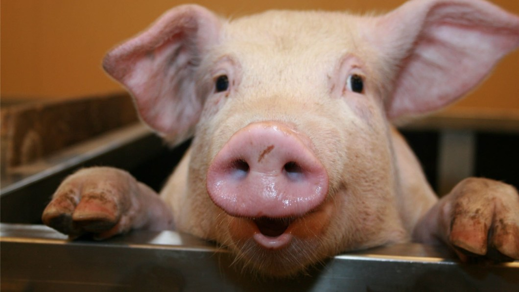 Funny Pig Wallpaper Bestpicture1 Org
