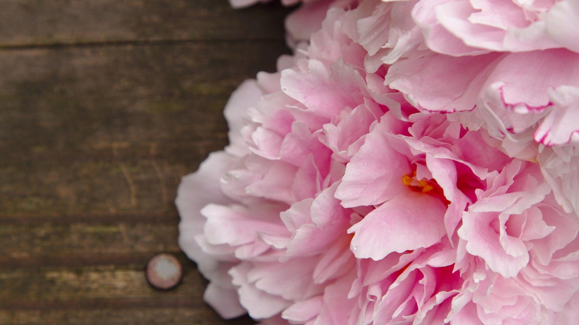 Peony Wallpaper Background