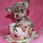 Teacup Chihuahua Wallpaper 52 Images