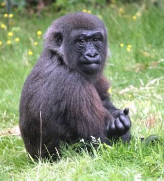 Gorilla 18 (Small)