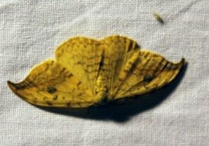 Nachtvlinder 5 (Small)