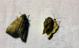 Nachtvlinder 6 (Small)