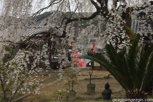 Japonya'da Sakura