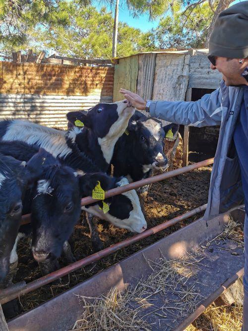 Akdeniz köyünde büyükbaş hayvancılık da yapılıyor