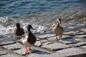 Varenna'da ördekler