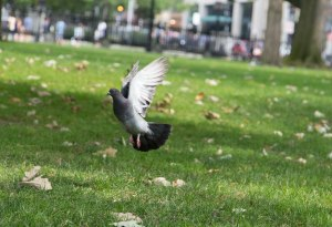 Pigeon in Fight