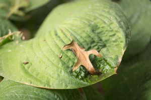Leaf on Hosta