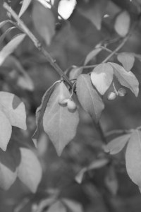 Boston_Area_Leaves_Black_White-7
