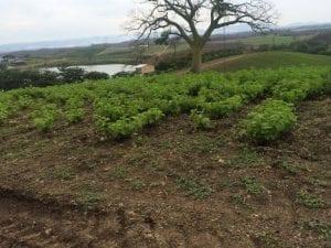 oregano grown in Equador
