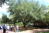Live oak on campus